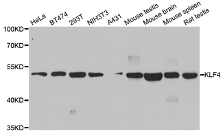 Western blot blot of extracts of various cell lines, using KLF4 antibody.