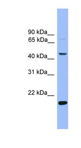 KLF4 antibody Western blot of Mouse Kidney lysate. This image was taken for the unconjugated form of this product. Other forms have not been tested.