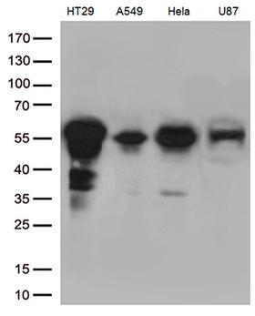KLF5 / BTEB2 Antibody - Western blot analysis of extracts. (35ug) from 4 cell lines by using anti-KLF5 monoclonal antibody. (1:500)