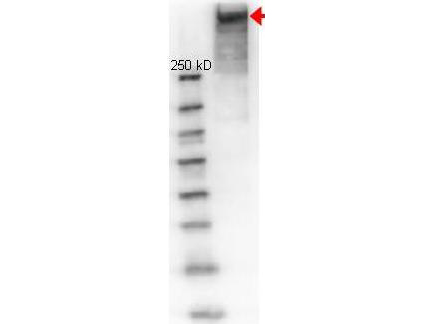 Anti-KLH Polyclonal Antibody - Western blot. rabbit anti-KLH (Keyhole Limpet Hemocyanine) antibody was used to detect KLH under reducing conditions. Membrane was Blocked in 1% BSA-TTBS for 30 min RT and incubated with rabbit anti-KLH, 1:1000 in 1% BSA-TBS, overnight at 4°C. Primary antibody was detected with HRP Goat-anti-Rabbit LS-C60865 Lot#21231 (1:40000 in MB-070 30 min RT) and imaged on the BioRad Versa Doc imaging system. Other detection systems will yield similar results. This image was taken for the unconjugated form of this product. Other forms have not been tested.