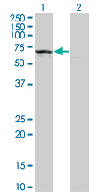 Western blot of KLHDC4 expression in transfected 293T cell line by KLHDC4 monoclonal antibody (M02), clone 4G11.