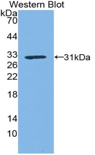 Western blot of recombinant KLK1 / Kallikrein 1.  This image was taken for the unconjugated form of this product. Other forms have not been tested.