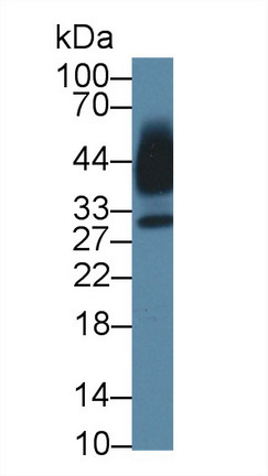 Western Blot; Sample: Human Saliva; Primary Ab: 1µg/ml Rabbit Anti-Mouse KLK13 Antibody Second Ab: 0.2µg/mL HRP-Linked Caprine Anti-Rabbit IgG Polyclonal Antibody