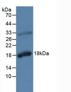 Western Blot; Sample: Rat Prostate Gland Tissue.