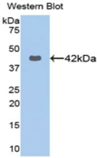Western blot of recombinant KRT16 / Cytokeratin 16.  This image was taken for the unconjugated form of this product. Other forms have not been tested.