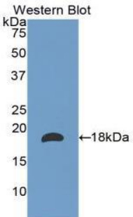 Western blot of recombinant LAMA1 / Laminin Alpha 1.  This image was taken for the unconjugated form of this product. Other forms have not been tested.