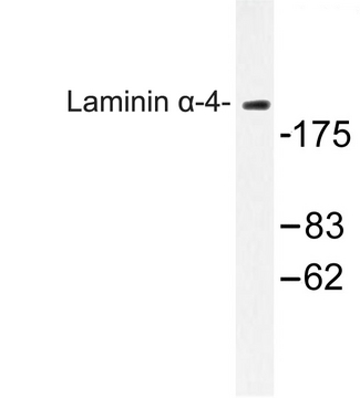 Western blot of Laminin -4 (A511) pAb in extracts from COLO cells.