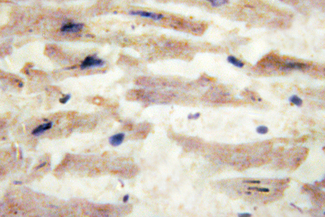 IHC of Laminin -4 (A511) pAb in paraffin-embedded human heart tissue.