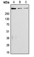 Western blot analysis of Laminin alpha 5 expression in JAR (A); A431 (B); RAW264.7 (C) whole cell lysates.
