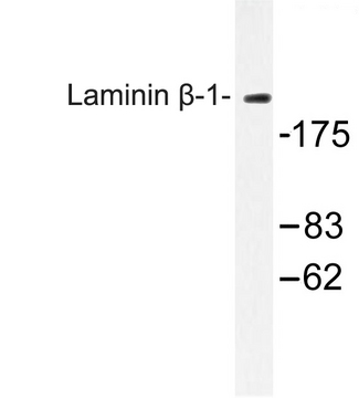 Western blot of Laminin -1 (D1742) pAb in extracts from HepG2 cells.