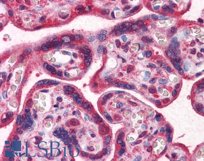 Anti-LAMB1 antibody IHC of human placenta. Immunohistochemistry of formalin-fixed, paraffin-embedded tissue after heat-induced antigen retrieval. Antibody LS-B4101 dilution 1:200.