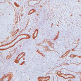 Frozen human tonsil stained with peroxidase-conjugate and DAB chromogen. Note basement membrane and cell surface staining of blood vessels.  This image was taken for the unmodified form of this product. Other forms have not been tested.
