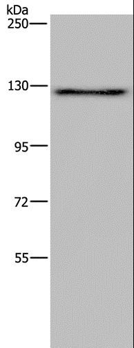 Western blot analysis of PC3 cell, using LAMB3 Polyclonal Antibody at dilution of 1:200.