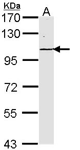 Sample (30 ug of whole cell lysate). A: Raji. 7.5% SDS PAGE. LAMC2 antibody diluted at 1:1000.