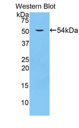 Western blot of recombinant LAMP1 / CD107a.  This image was taken for the unconjugated form of this product. Other forms have not been tested.