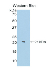 Western blot of recombinant LAMP2 / CD107b.  This image was taken for the unconjugated form of this product. Other forms have not been tested.