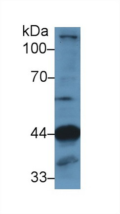 Western Blot; Sample: Mouse Skeletal muscle lysate; Primary Ab: 1µg/ml Rabbit Anti-Human LAMP2 Antibody Second Ab: 0.2µg/mL HRP-Linked Caprine Anti-Rabbit IgG Polyclonal Antibody