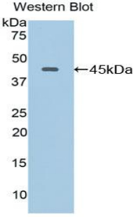 LAMP2 / CD107b Antibody - Western blot of recombinant LAMP2 / CD107b.  This image was taken for the unconjugated form of this product. Other forms have not been tested.