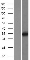 LAPTM4B Protein - Western validation with an anti-DDK antibody * L: Control HEK293 lysate R: Over-expression lysate