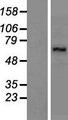 LARP7 Protein - Western validation with an anti-DDK antibody * L: Control HEK293 lysate R: Over-expression lysate