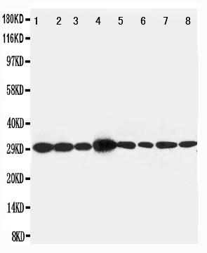 WB of LASP1 antibody. All lanes: Anti-LASP1 at 0.5ug/ml. Lane 1: Rat Liver Tissue Lysate at 40ug. Lane 2: Rat Spleen Tissue Lysate at 40ug. Lane 3: Rat Intestine Tissue Lysate at 40ug. Lane 4: JURKAT Whole Cell Lysate at 40ug. Lane 5: MCF-7 Whole Cell Lysate at 40ug. Lane 6: A431 Whole Cell Lysate at 40ug. Lane 7: HELA Whole Cell Lysate at 40ug. Lane 8: 293T Whole Cell Lysate at 40ug. Predicted bind size: 30KD. Observed bind size: 30KD.