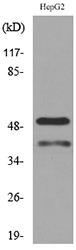 Western blot analysis of extracts from HepG2 cells, using LASP1 Antibody.