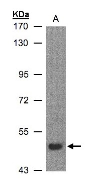 Sample (30 ug whole cell lysate). A: H1299. 7.5% SDS PAGE. LBP antibody diluted at 1:500