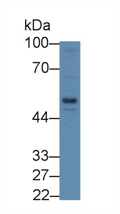 Western Blot; Sample: Human HepG2 cell lysate; Primary Ab: 2µg/mL Rabbit Anti-Rat LBP Antibody Second Ab: 0.2µg/mL HRP-Linked Caprine Anti-Rabbit IgG Polyclonal Antibody
