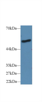 Western Blot; Sample: Human A431 cell lysate; Primary Ab: 2µg/ml Rabbit Anti-Mouse LBP Antibody Second Ab: 0.2µg/mL HRP-Linked Caprine Anti-Rabbit IgG Polyclonal Antibody