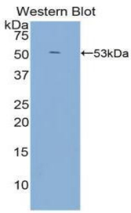 Western blot of recombinant LBP.  This image was taken for the unconjugated form of this product. Other forms have not been tested.