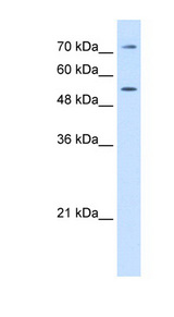 LBP antibody Western blot of HepG2 cell lysate. This image was taken for the unconjugated form of this product. Other forms have not been tested.