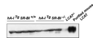 LCAT Antibody - Western blot of plasma LCAT protein mass. Plasma samples (0.2ul) from four hA-I Tg mice, four hA-I Tg SR-BI -/- mice, a LCAT-/- mouse, and purified mouse LCAT were fractionated on SDS-PAGE, and LCAT was detected by Western blot of rabbit antiserum against mouse LCAT.