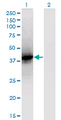 Western Blot analysis of LCAT expression in transfected 293T cell line by LCAT monoclonal antibody (M01), clone 4A9.Lane 1: LCAT transfected lysate (Predicted MW: 49.6 KDa).Lane 2: Non-transfected lysate.
