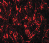 Immunofluorescence of TYW1 in mouse brain tissue with TYW1 antibody at 20 ug/ml.