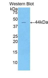 LCN15 Antibody - Western blot of recombinant LCN15.  This image was taken for the unconjugated form of this product. Other forms have not been tested.