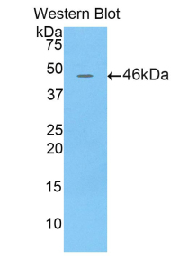Lcn4 / Lipocalin 4 Antibody - Western blot of recombinant Lcn4 / Lipocalin 4.  This image was taken for the unconjugated form of this product. Other forms have not been tested.