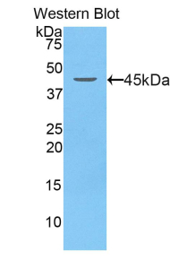 Lcn5 / Lipocalin 5 Antibody - Western blot of recombinant Lcn5 / Lipocalin 5.  This image was taken for the unconjugated form of this product. Other forms have not been tested.