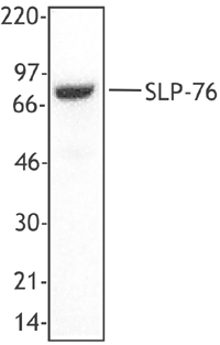 LCP2 / SLP-76 Antibody - MOLT4 total lysate (1% NP40) was resolved by electrophoresis, transferred to nitrocellulose and probed with monoclonal anti-SLP76 antibody. Proteins were visualized using a goat anti-mouse secondary conjugated to HRP and a chemiluminescence detection system.