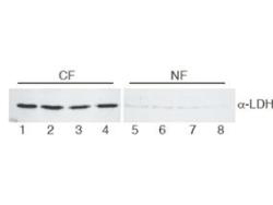 LDHA / LDH1 Antibody - Western Blot of Goat Anti-Lactate Dehydrogenase antibody. Lane 1-4: HeLa cell extracts cytoplasmic fraction (CF). Lane 5-8: HeLa cell extracts nuclear fraction (NF). Load: 30 µg per lane. Primary antibody: LDH antibody at 1:400 for overnight at 4°C. Secondary antibody: secondary antibody at 1:10,000 for 45 min at RT. Block: 5% BLOTTO/TBST overnight at 4°C. Predicted/Observed size: 36.6 kDa, 36 kDa for LDH. Other band(s): None.