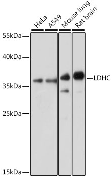 LDHC / Lactate Dehydrogenase C Antibody - Western blot analysis of extracts of various cell lines, using LDHC antibody at 1:1000 dilution. The secondary antibody used was an HRP Goat Anti-Rabbit IgG (H+L) at 1:10000 dilution. Lysates were loaded 25ug per lane and 3% nonfat dry milk in TBST was used for blocking. An ECL Kit was used for detection and the exposure time was 30s.