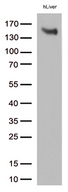 LDLR / LDL Receptor Antibody - Western blot analysis of extracts. (35ug) from cell lines and/or tissue lysates by using anti-LDLR monoclonal antibody. (1:500)