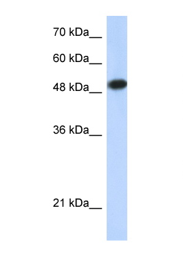 LEF1 antibody LS-B984 Western blot of 293T Cell lysate. Antibody concentration 1 ug/ml.  This image was taken for the unconjugated form of this product. Other forms have not been tested.