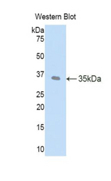 Western blot of recombinant LEFTYB / LEFTY1.  This image was taken for the unconjugated form of this product. Other forms have not been tested.
