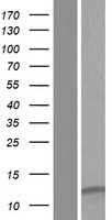 LENEP Protein - Western validation with an anti-DDK antibody * L: Control HEK293 lysate R: Over-expression lysate