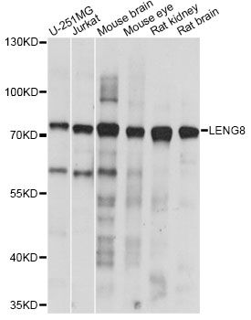 LENG8 Antibody - Western blot analysis of extracts of various cell lines, using LENG8 antibody at 1:1000 dilution. The secondary antibody used was an HRP Goat Anti-Rabbit IgG (H+L) at 1:10000 dilution. Lysates were loaded 25ug per lane and 3% nonfat dry milk in TBST was used for blocking. An ECL Kit was used for detection and the exposure time was 10s.