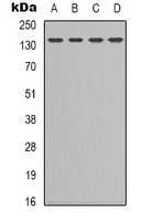 Western blot analysis of CD295 expression in HEK293T (A); K562 (B); NIH3T3 (C); COLO205 (D) whole cell lysates.