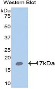 Leptin Antibody - Western blot of recombinant Leptin.  This image was taken for the unconjugated form of this product. Other forms have not been tested.