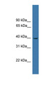 LTB4R / BLT1 antibody Western blot of PANC1 cell lysate. This image was taken for the unconjugated form of this product. Other forms have not been tested.