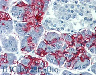 Immunohistochemistry staining of human pancreas (paraffin-embedded sections) with anti-Blood Group Lewis a (7LE). Commercially tested by LifeSpan BioSciences.