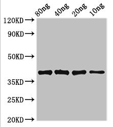 LexA Antibody - Western Blot Positive WB detected in Recombinant protein All lanes: lexA antibody at 3.4µg/ml Secondary Goat polyclonal to rabbit IgG at 1/50000 dilution predicted band size: 39 kDa observed band size: 39 kDa